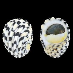 Nerita Textilis (2)