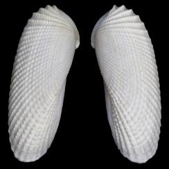 Cyrtopleura Costata (1)