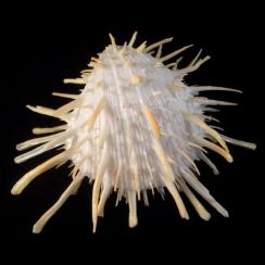 Spondylus Americanus (1)