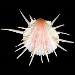 Spondylus Imperialis (2)