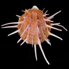 Spondylus Regius (2)