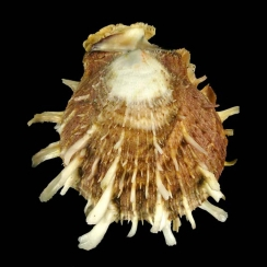 Spondylus Squamosus (1)