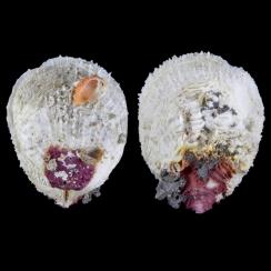 Spondylus Varius (2)