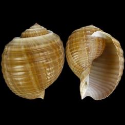 Tonna Canaliculata (2)