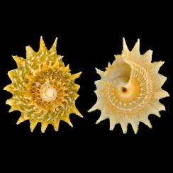 Lithopoma Phoebium (2)