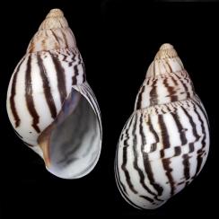 Terrestrial Shells (6)