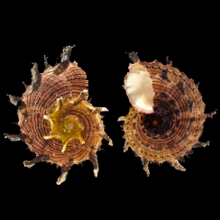 Angariidae (3)