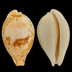 Austrasiatica Hirasei (3)