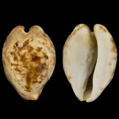 Barycypraea Teulerei (7)