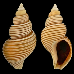 Buccinidae (12)