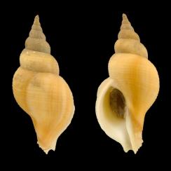 Neptunea Contraria (2)
