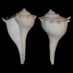 Sinistrofulgur Sinistrum (1)