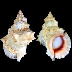Bursidae (3)
