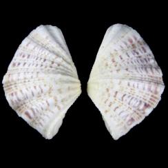 Hippopus Pocellanus (1)