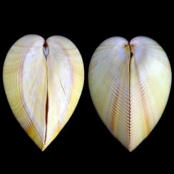 Laevicardium Elatum (1)