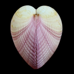 Maoricardium Pseudolima (2)