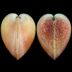 Nemocardium Bechei (4)