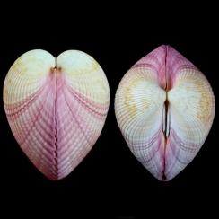 Cardiidae (19)