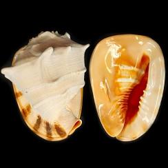 Cassidae (19)