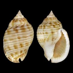 Semicassis Undulata (1)