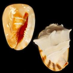 Cassis Cornuta (3)