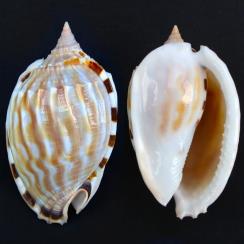 Phalium Fimbria (1)