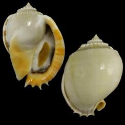 Phalium Glaucum (1)