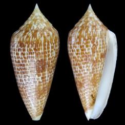 Conus Armadillo (2)