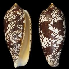 Conus Aulicus (1)