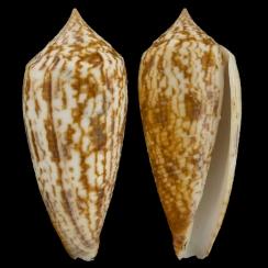 Conus Australis (2)