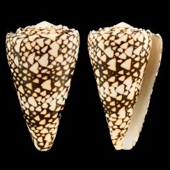 Conus Bandanus (3)