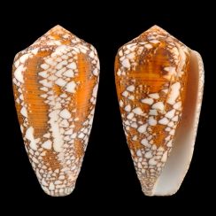 Conus Behelokensis (5)