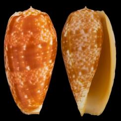 Conus Bullatus (2)