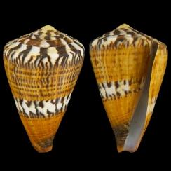 Conus Capitaneus (4)