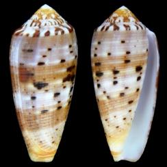 Conus Circumcisus (6)