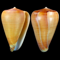 Conus Betulinus f. Deprehendens (3)