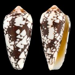Conus Episcopatus (2)