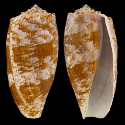 Conus Geographus (2)