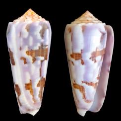Conus Gubernator (20)