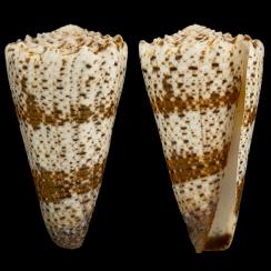 Conus Imperialis (4)