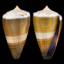 Conus Lividus (6)