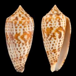 Conus Lynceus (2)