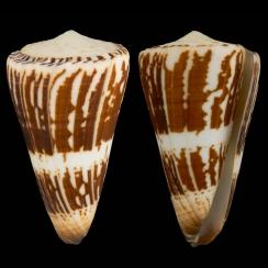 Conus Maldivus (6)