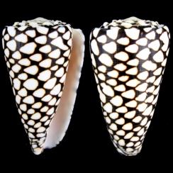 Conus Marmoreus (9)
