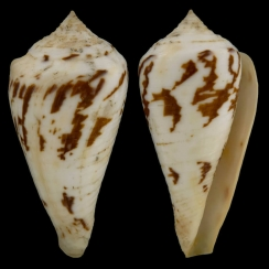 Conus Pergrandis (1)