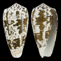 Conus (Pioconus) Magus (2)