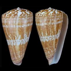 Conus Pulcher (3)