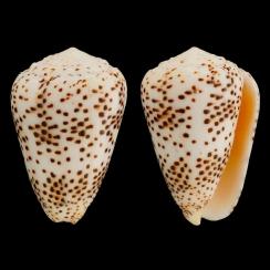 Conus Pulicarius (2)