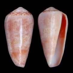 Conus Solangeae (2)