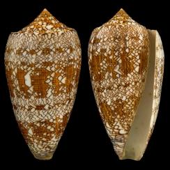 Conus Textile (2)